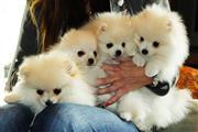 5 Pomeranian puppies Nino en Los Angeles County