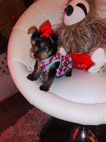 $600 : Yorkie teacup puppies up image 2