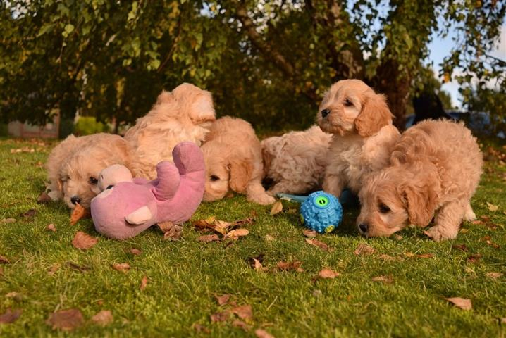 Family Cavapoos Puppies image 2