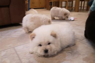Kc Registered Chow Chow en New Orleans