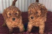 Family Cavapoos Puppies. en Charlotte