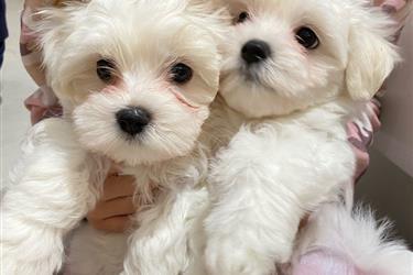 Maltese puppies en El Paso
