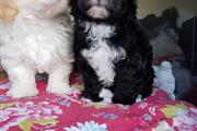 Pure Havanese Puppy LIL PUP is a very confident l