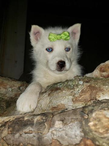 $600 : MALE AND FEMALE HUSKIES PUPS image 3