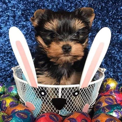 $650 : Yorkshire terrier image 1