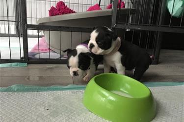 Forever Home Boston Terrier Pu en New York