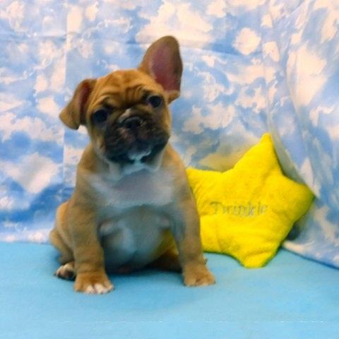 BLUE EYES FRENCH BULLDOGS PUPS image 2