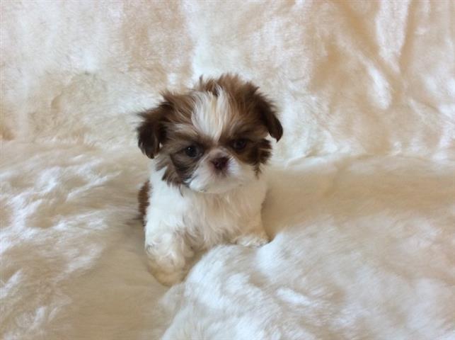 $400 : Adorables cachorros de shih tz image 1