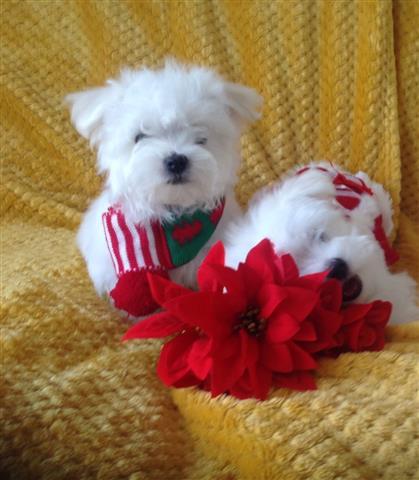 Cutie Maltese Pupppies image 1