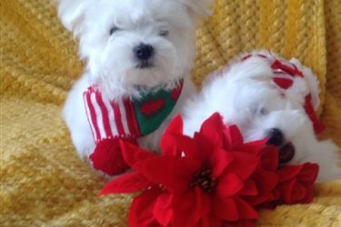Cutie Maltese Pupppies en Tulsa