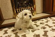 Healthy Adorable Maltese Puppies Super adorable M