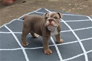 $250 : impresionante bulldog inglés thumbnail
