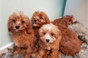 Tested Cavapoo Puppies