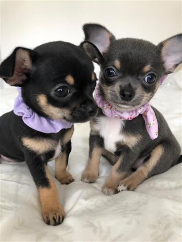 Cute Chihuahua Puppies image 2