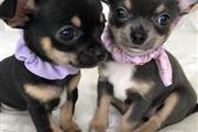 Cute Chihuahua Puppies thumbnail