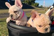$500 : FRENCH BULLDOGS FOR SALE thumbnail