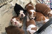 Amazing english bulldog puppie en Washington DC