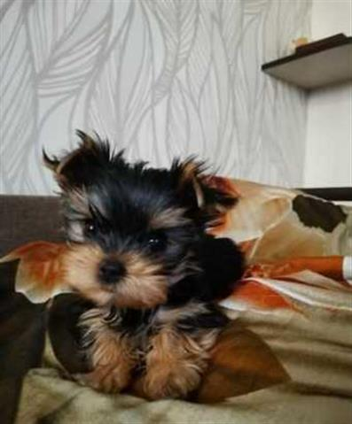 $500 : Yorkshire Terrier Puppies image 1