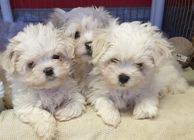 Super Adorable Maltese Puppies image 2