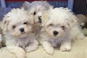 Super Adorable Maltese Puppies thumbnail