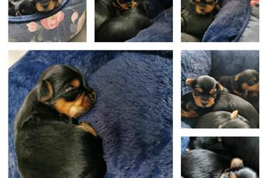 yorkie puppies for sale en Imperial County
