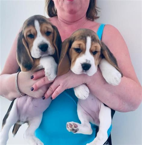 $650 : Beagle Puppies for sale image 2