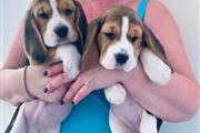 $650 : Beagle Puppies for sale thumbnail