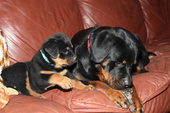 Rottweiler 2 machos 1 hembras image 3
