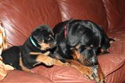 Rottweiler 2 machos 1 hembras thumbnail