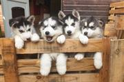 Amazing Siberin Husky Puppie We have beautiful an