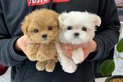 tea cup puppy for sale en Kings County