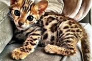 Bengal Kittens For Sale Pedig❤ en Los Angeles County
