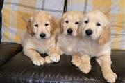 Golden Retrievers Pup