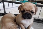 adorable Male Pug Puppys