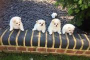 Pomeranian Puppies for Adoptio thumbnail