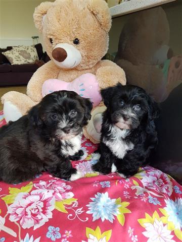 Health Havapoo Tested Puppies, image 3