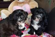 Health Havapoo Tested Puppies, thumbnail