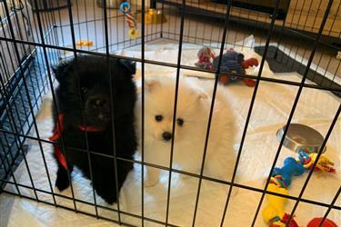 Pomeranian Puppies for Adoptio en Albuquerque