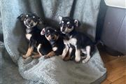 Chihuahua Pups For Sale!! 2 females. 1 male. Moth