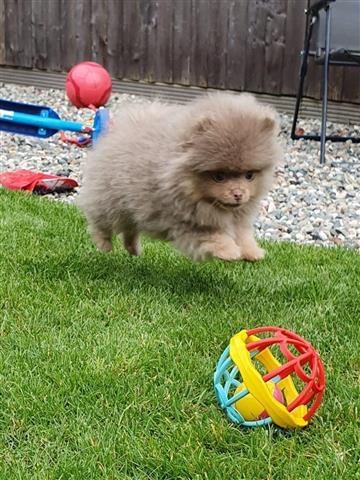 Lovely Pomeranian puppy image 3