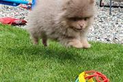 Lovely Pomeranian puppy thumbnail