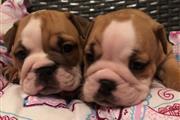Akc adorable bulldog inglés