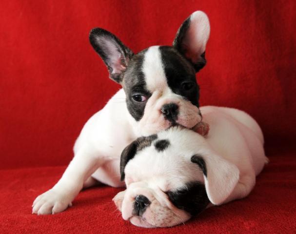 Camada Bulldogs franceses image 1