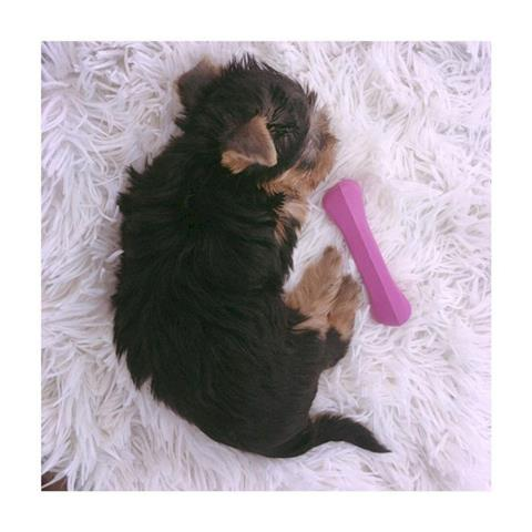 Yorkie en adopcion cachorros p image 1