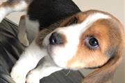 beagle puppies available