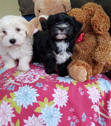 Health Havapoo Tested Puppies, image 2