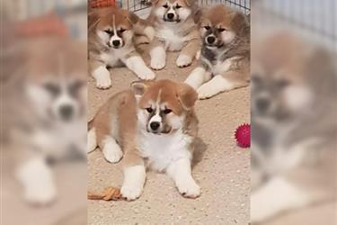 Akita puppies with Akc ready.. en Los Angeles