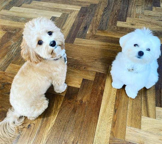 $600 : Pure Maltese Puppies Available image 3