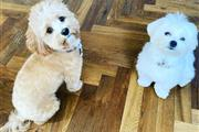 $600 : Pure Maltese Puppies Available thumbnail