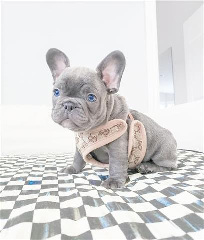 $500 : FRENCHBULLDOG PUPPIES FOR SALE image 2
